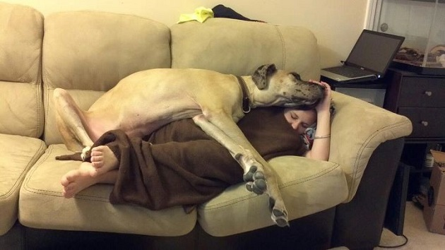 Resultado de imagen para great dane sleeping with owner