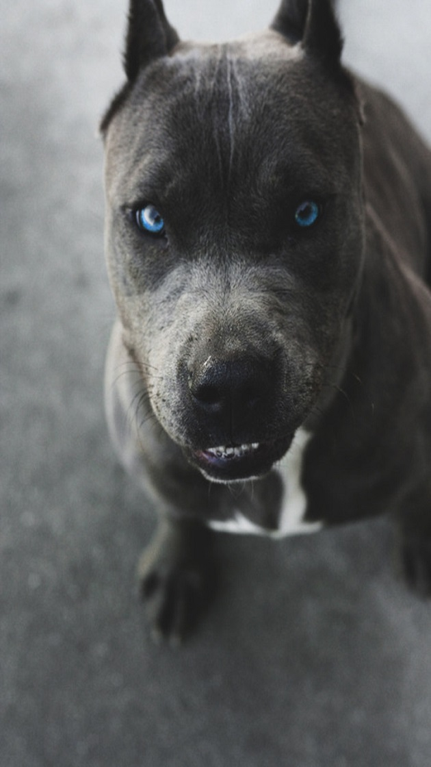 12 Realities That New Pit Bull Owners Must Accept
