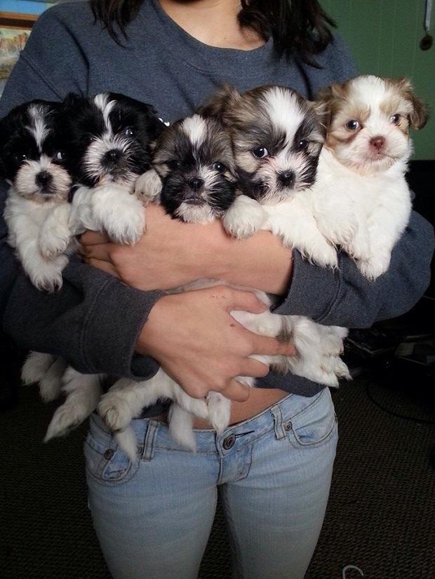 shih tzus puppies photo woman