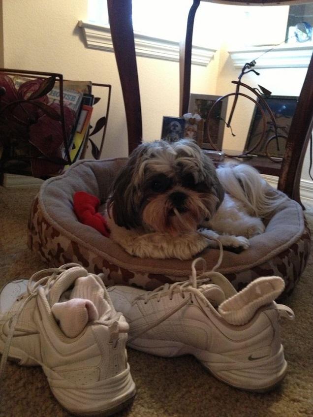 shoe laces shih tzu