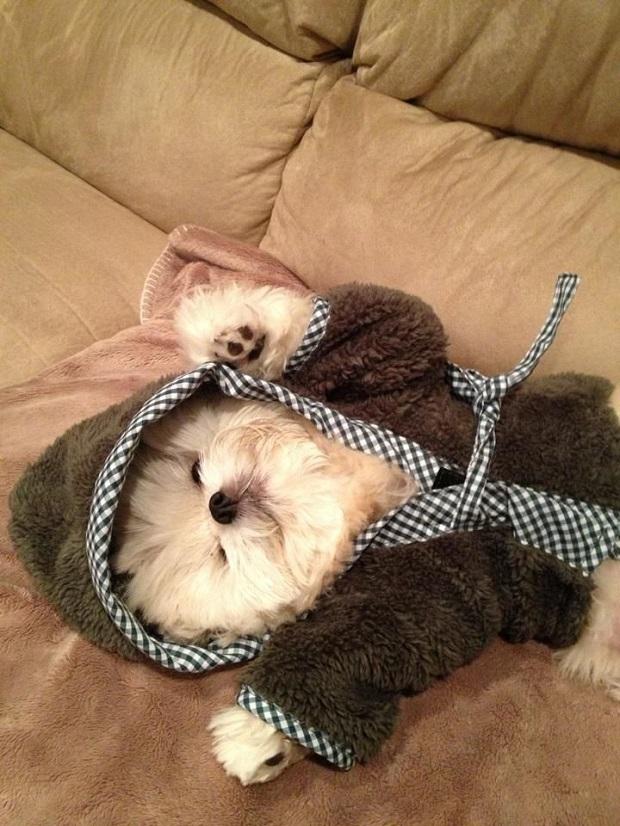 sleeping shih tzu outfit
