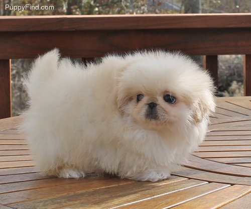 10 Reasons Pekingeses Are The Worst Breed Ever