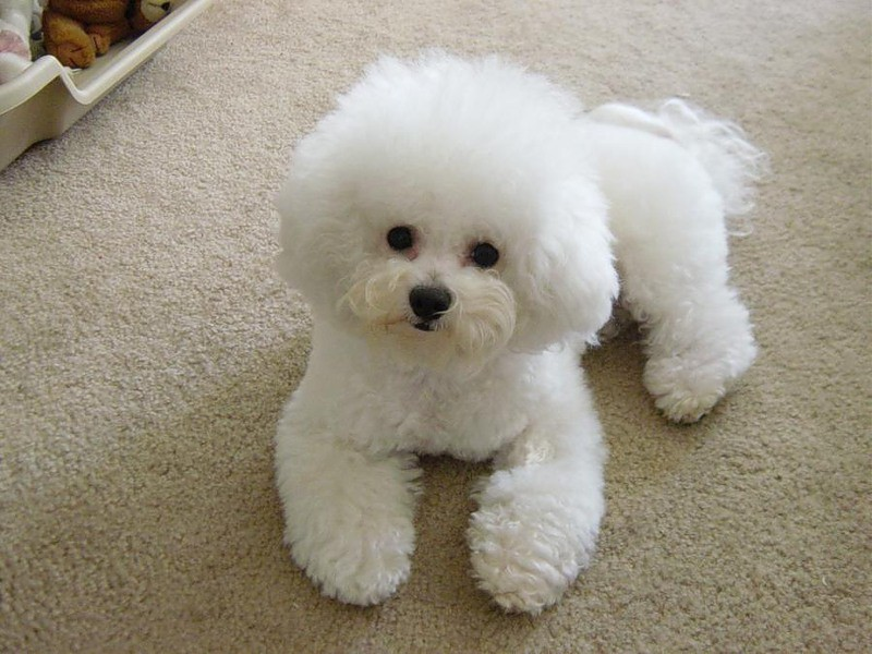 white pics dog bichon frise