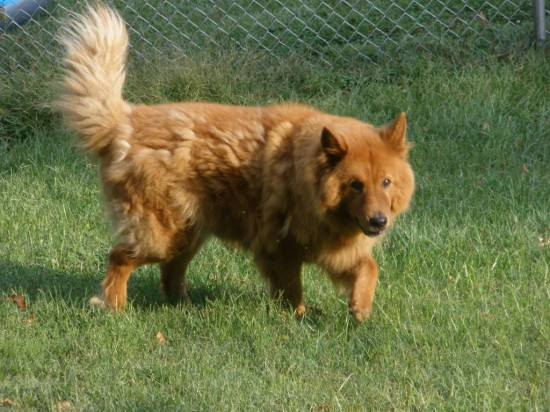 Chow-Chow-and-Golden-Retriever-Mix