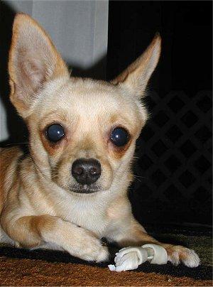 Corgi Chihuahua