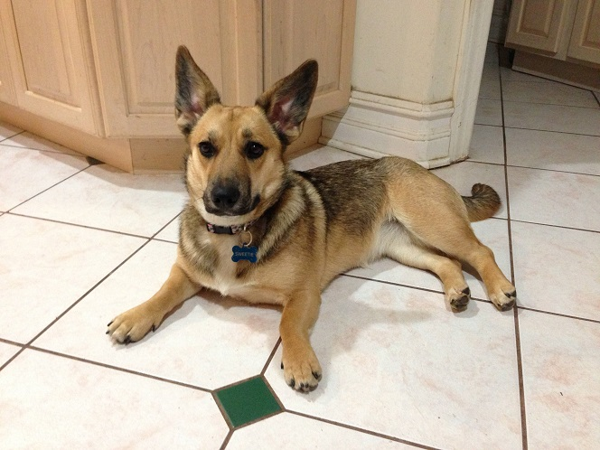 Corgi German Sheppard