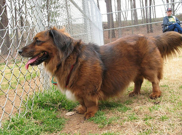Corgi Long Haired Dachshund
