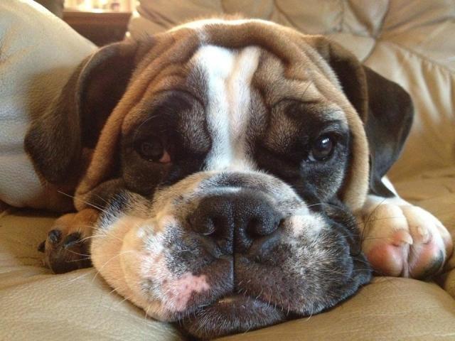 English Bulldog and boxer mix