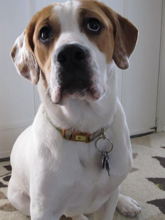 English Bulldog beagle mix