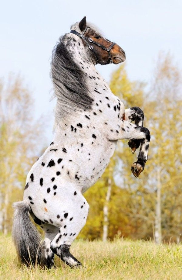 Friesian Appaloosa