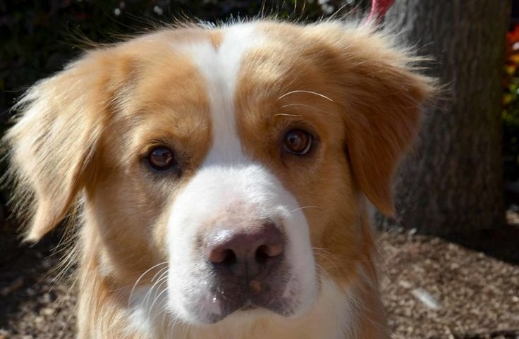 12 Unreal Golden Retriever Cross Breeds