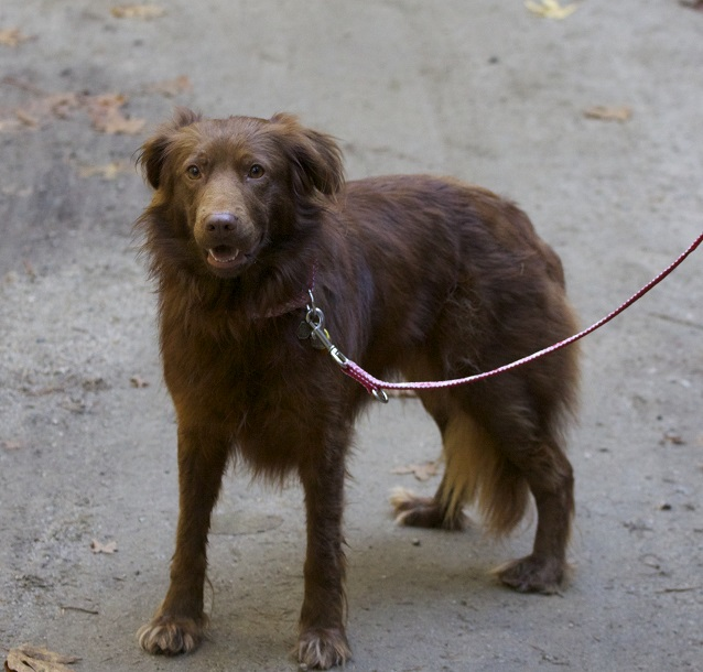Labrador Retriever Australian Shepherd mix
