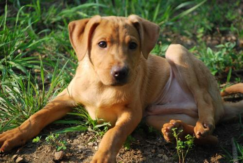 Labrador Retriever Bloodhound mix