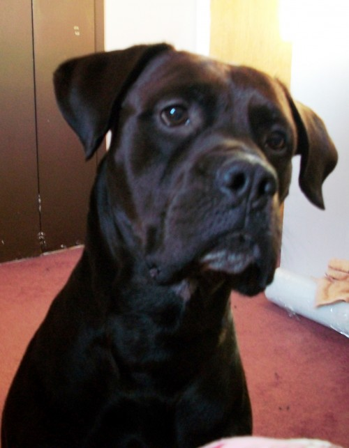 Labrador Retriever Bullmastiff mix