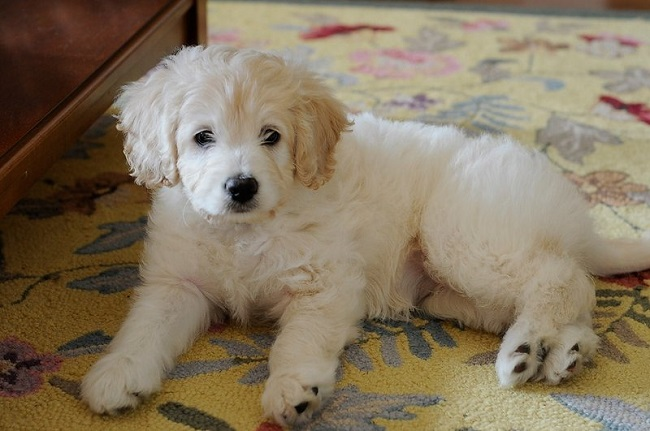 Labrador Retriever Poodle mix