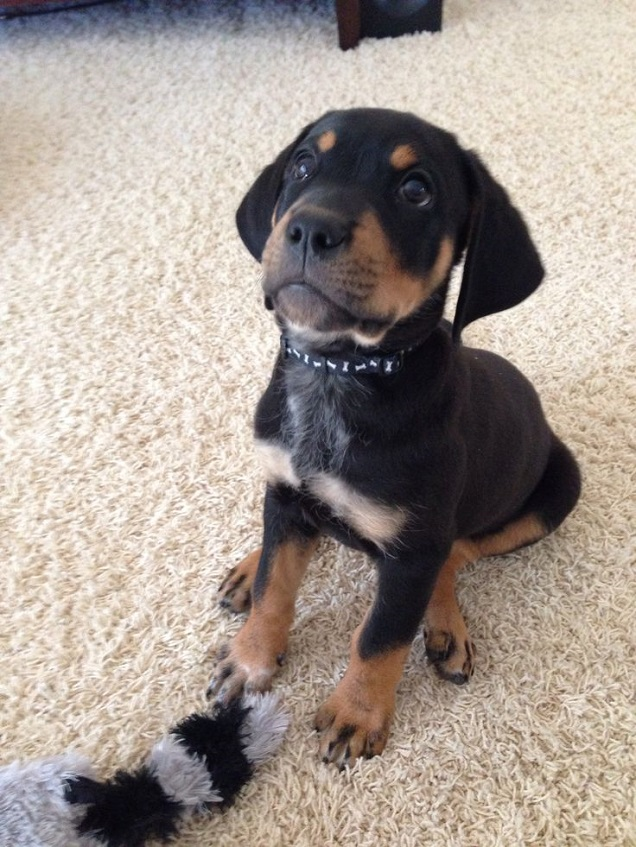 Labrador Retriever Rottweiler mix