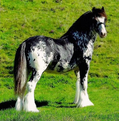 Mixed Gypsy Vanner and Appaloosa