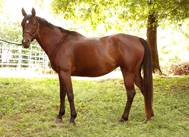 Quarter horse Arabian cross