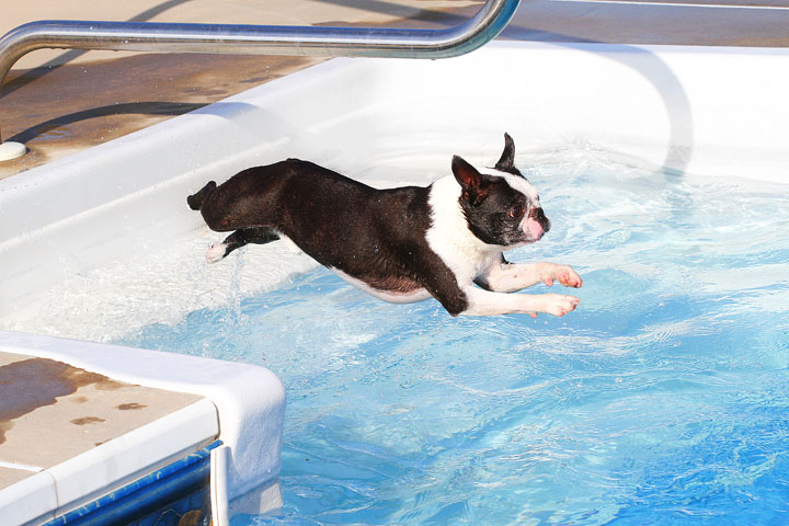16 Reasons Boston Terriers Are Not The Friendly Dogs