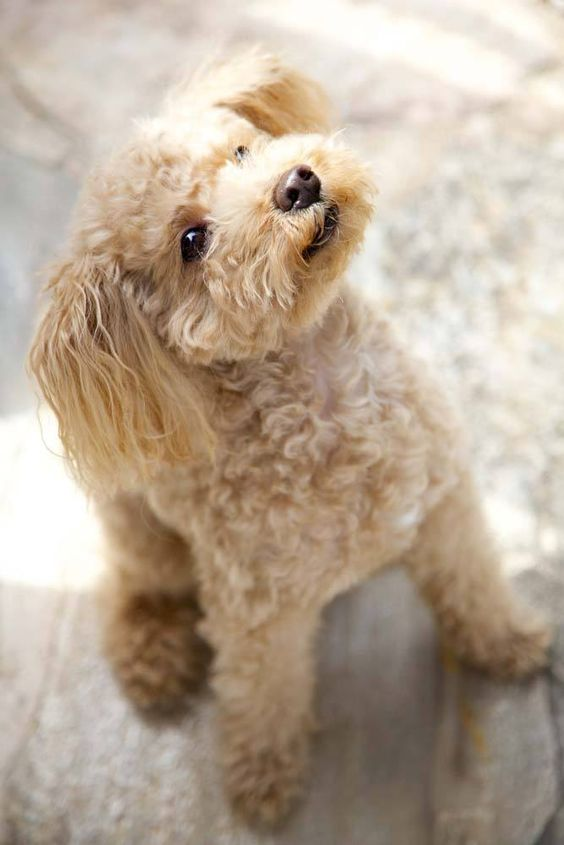 cute poodle photo