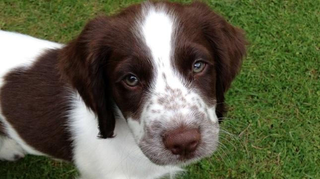 cute puppy springer spaniel eyes