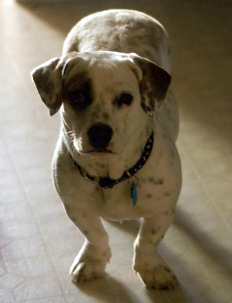 10 Unreal English Bulldog Cross Breeds You Have To See To ...