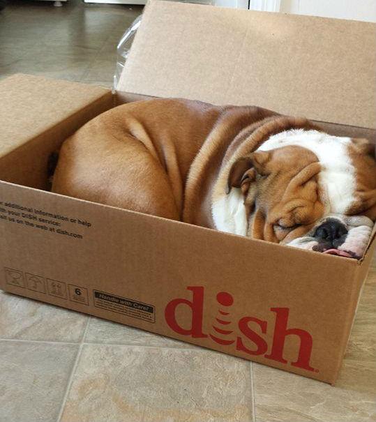 dish box type of dog