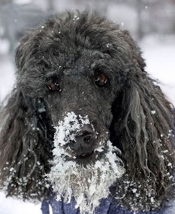 poodle face snow