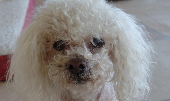 senior poodle