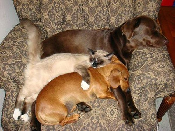 sleep friends labrador dachshund cat