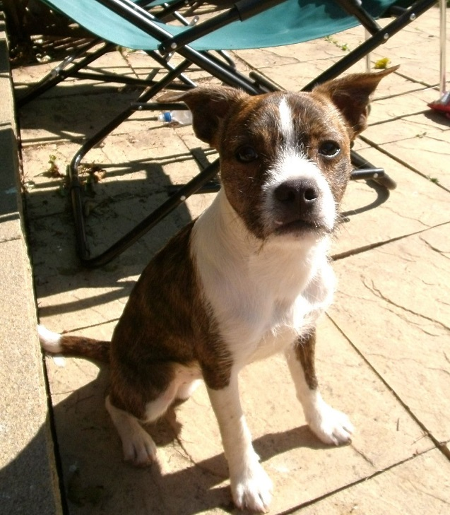 boston terrier jack russell 18 unreal jack russell cross breeds you have to see to believe 976