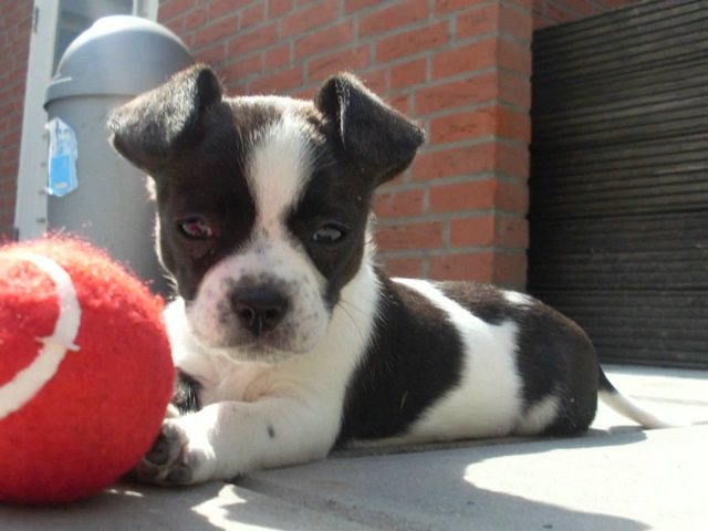 Bulldog x Jack Russell Terrier
