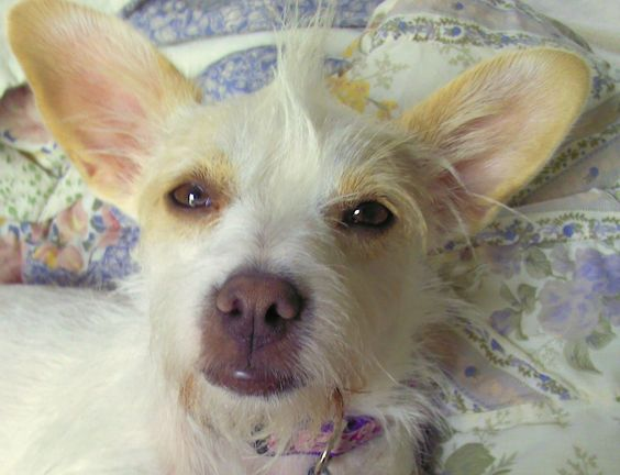 chinese crested terrier 18 unreal jack russell cross breeds you have to see to believe 4015