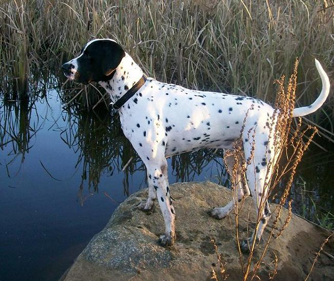 English Springer Spaniel Dalmatian mix