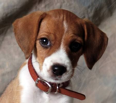 Jack Russell Terrier x Beagle