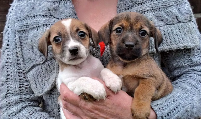 18 Unreal Jack Russell Cross Breeds You Have To See To Believe