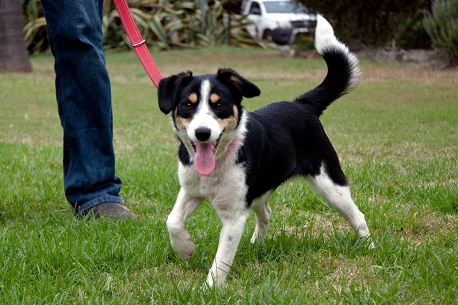 Jack Russell Terrier x Collie
