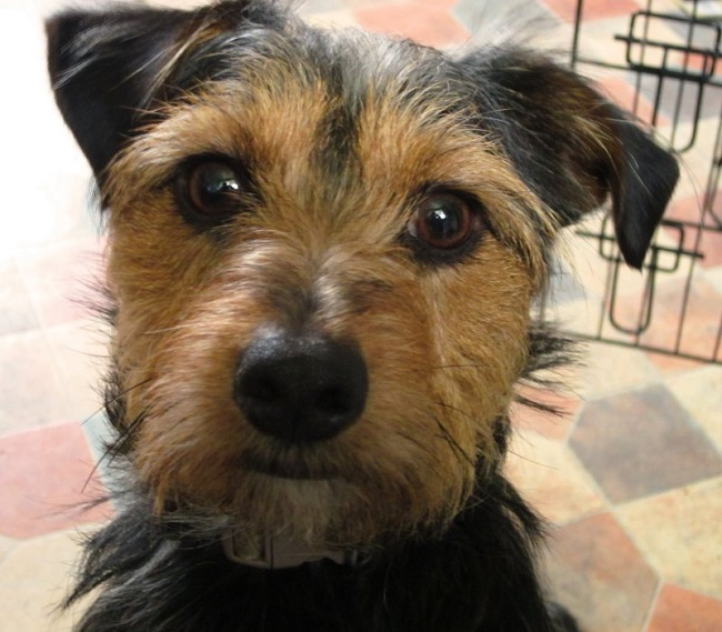 Yorkshire Terrier x Jack Russell Terrier