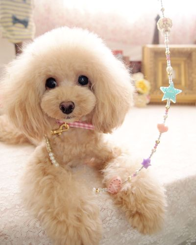 12 Reasons Poodles Are The Worst Indoor Dog Breeds Of All Time