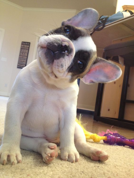 How Did the Small French Bulldog Take America by Storm?