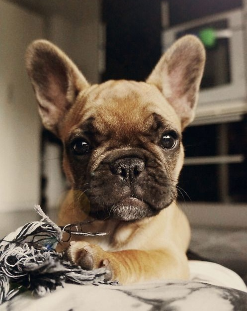 Your Ultimate Guide to the Different French Bulldog Types 16