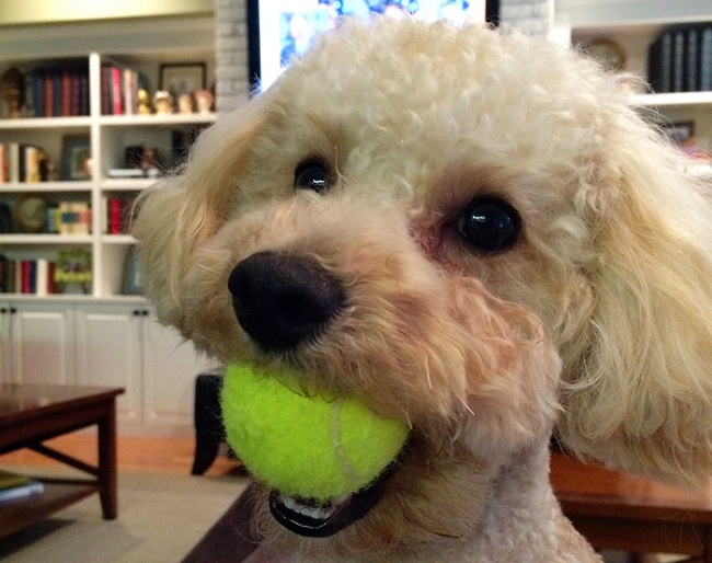 poodle-playing-ball