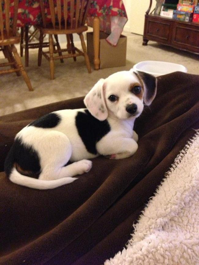 Beagle x Chihuahua