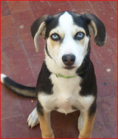 Beagle x Husky