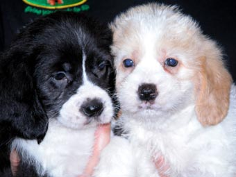 Beagle x Maltese