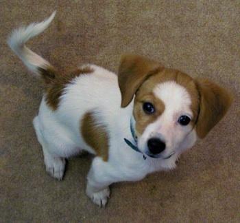 Beagle x Pomeranian