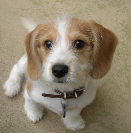 Beagle x Yorkie