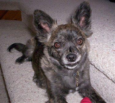 Boston Terrier x Pomeranian