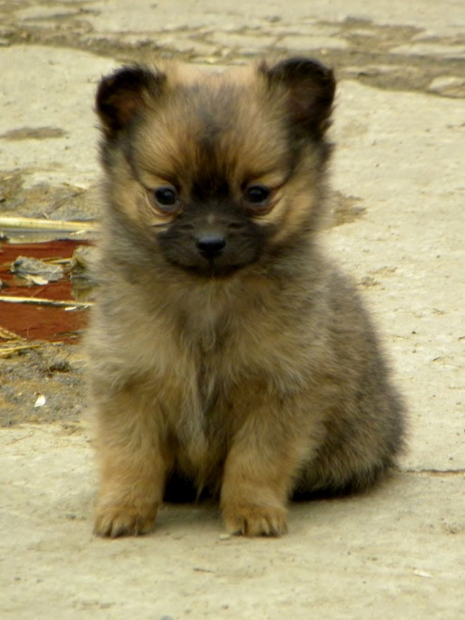 Pomeranian Puppies Mix