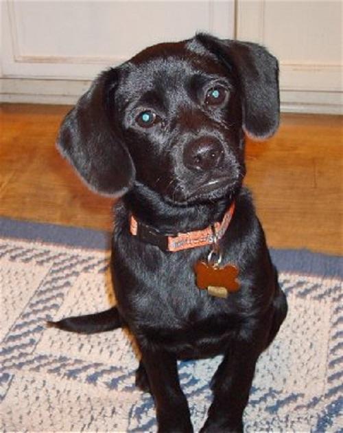 Cocker Spaniel x Boston Terrier